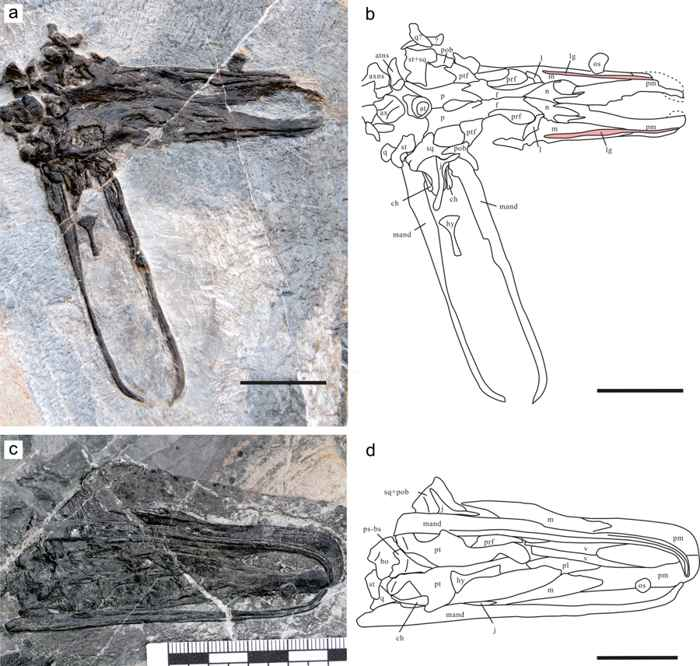 cráneo de Eretmorhipis carrolldongi