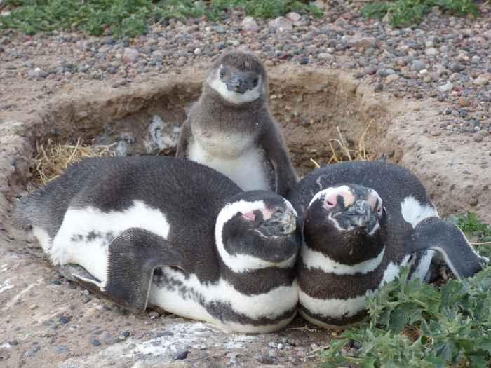 familia de pingüinos de Magallanes