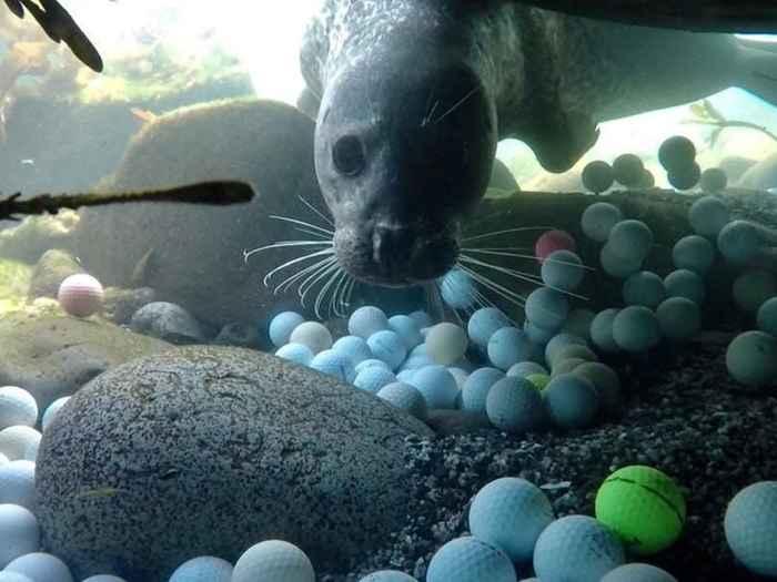foca observa unas pelotas de golf