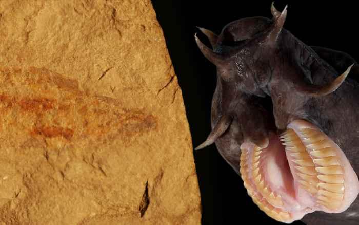 fósil de Tethymyxine tapirostrum y mixino de la actualidad