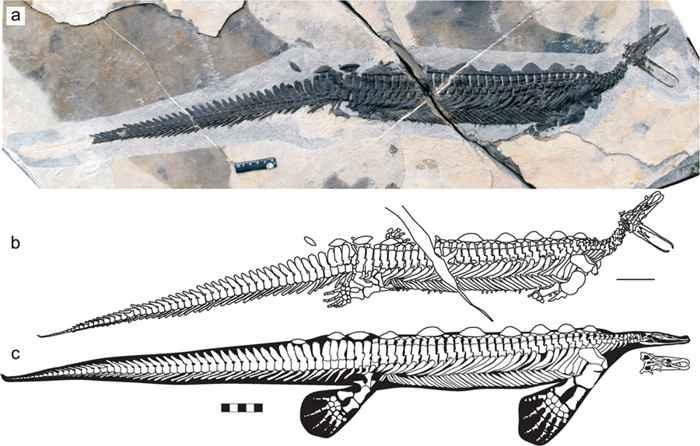 fósiles de Eretmorhipis carrolldongi