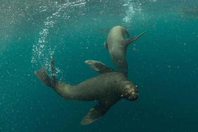 lobos marinos en Argentina