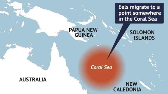 migración de la anguila de aleta corta