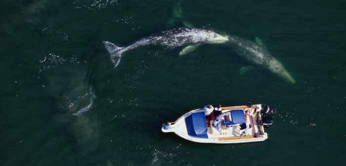 observación de ballena gris
