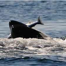 orca caza un salmón