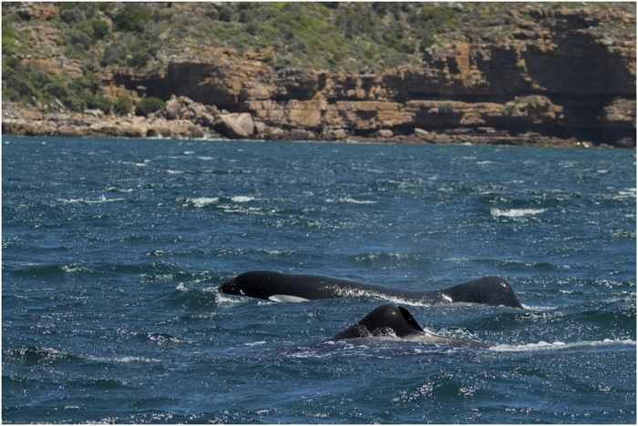 orcas en la costa de Sudáfrica