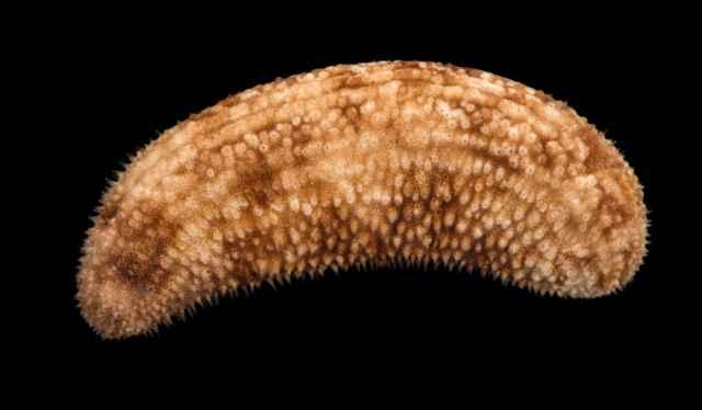 pepino de mar espinoso