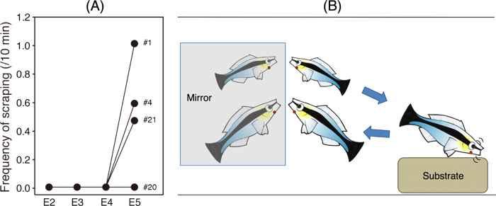 pez intenta el raspado en la prueba del espejo