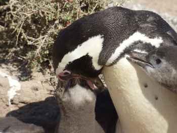 pingüino de Magallanes alimentando un pollito