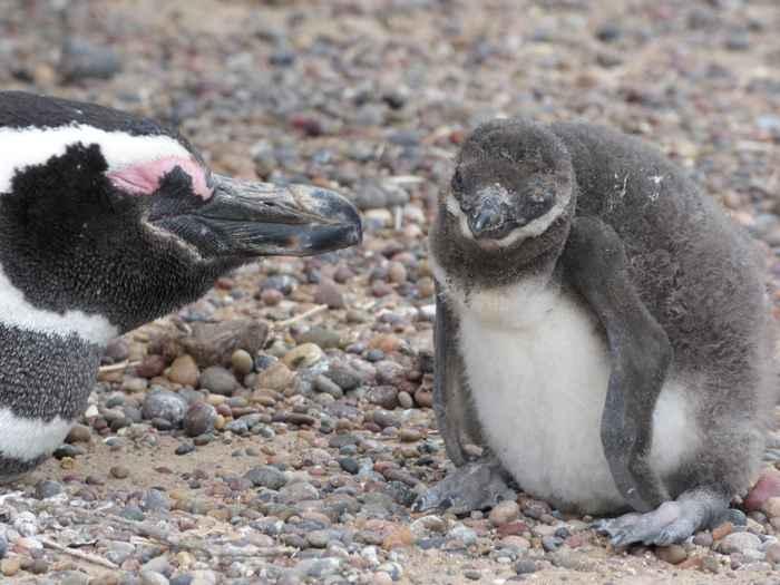 pingüino de Magallanes alimentando pollito