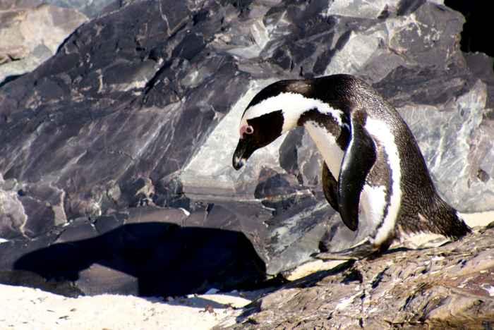 pingüino africano Spheniscus demersus