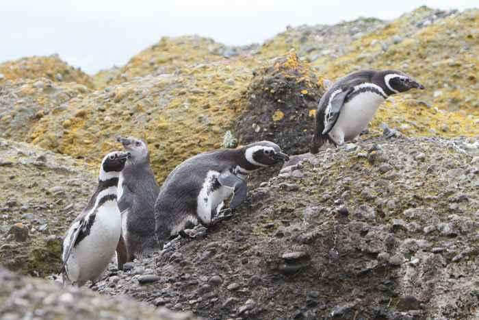 pingüino de Magallanes Spheniscus magellanicus