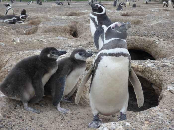pingüinos de Magallanes con sus pollitos