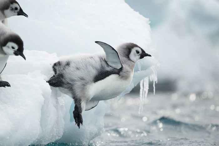 polluelo de pingüino emperador salta al agua