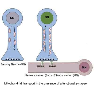 transporte mitocondrial