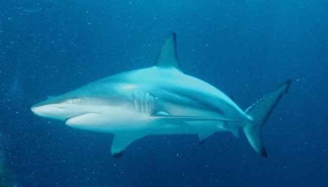 tiburón puntas negras (Carcharhinus limbatus)