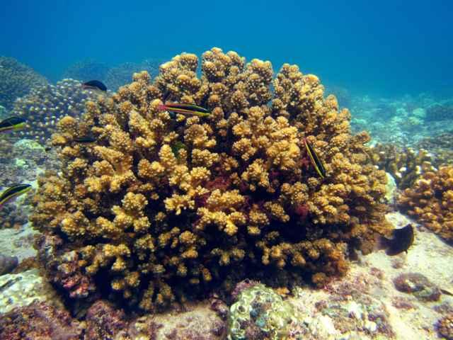 arrecife coral del Pacífico Tropical Oriental