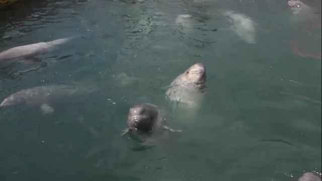 ballenas beluga liberadas por Rusia