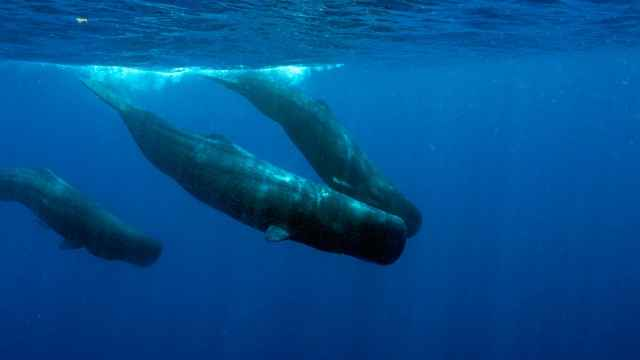 cachalotes en el Mediterráneo