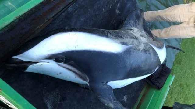 delfín cruzado encontrado en Nueva Zelanda