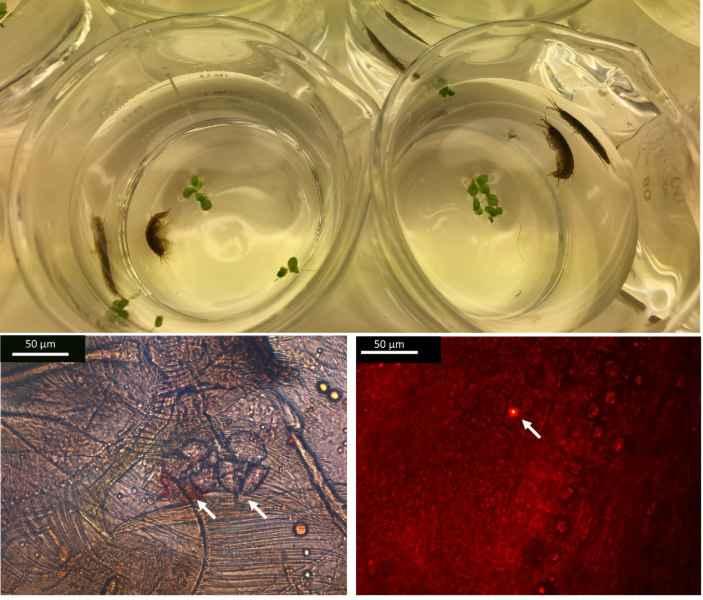 microplasticos en un anfípodo