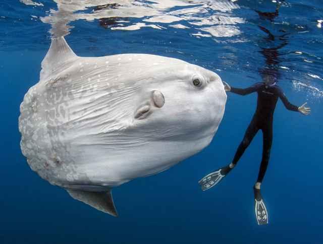 pez luna Mola alexandrini