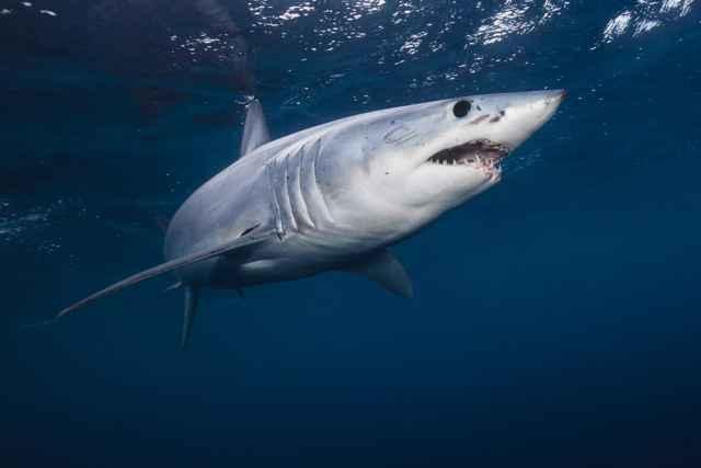 tiburón mako dientuso