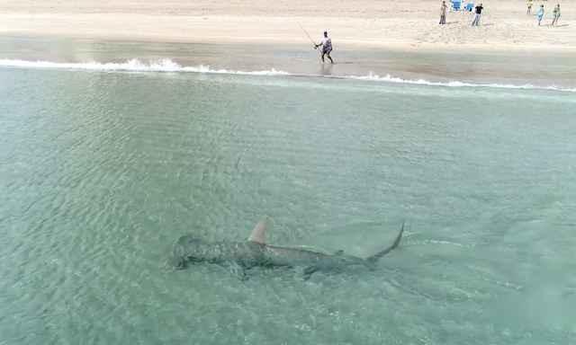 tiburón martillo cerca de la orilla
