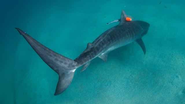 tiburón tigre etiquetado