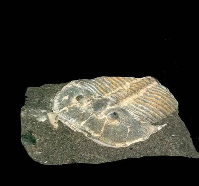 trilobite Aulacopleura kionickii