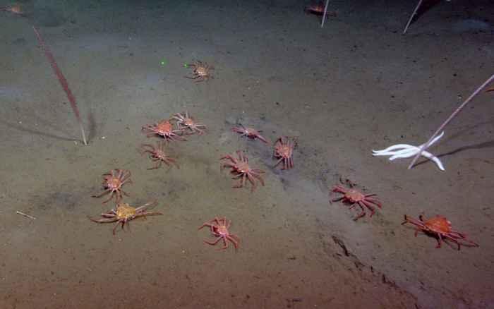 agregación de cangrejos curtidores