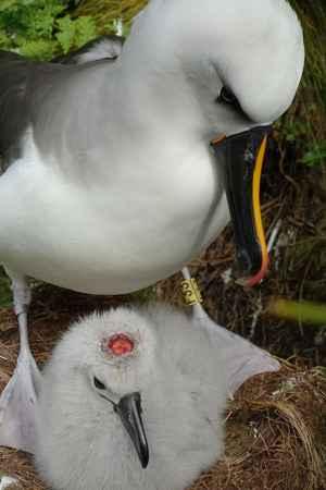 albatros herido por un ratón