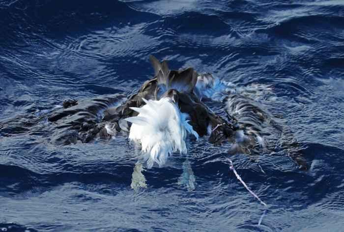 albatros muerto con la cuerda de un globo