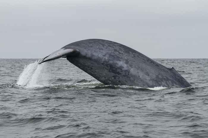 ballena azul utiliza la memoria