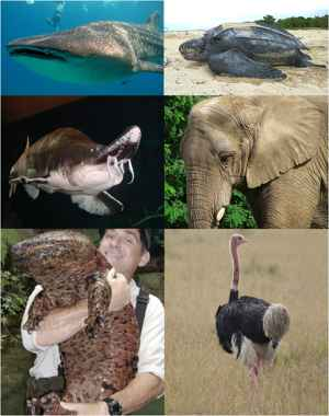 especies de megafauna