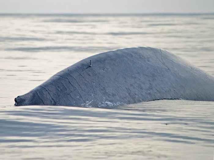 marcado de una ballena azul
