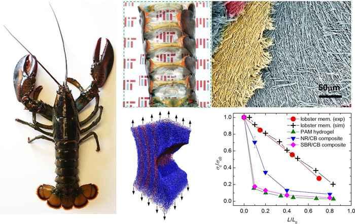 membrana en la cola de la langosta
