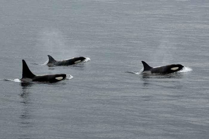 orcas residentes de Escocia
