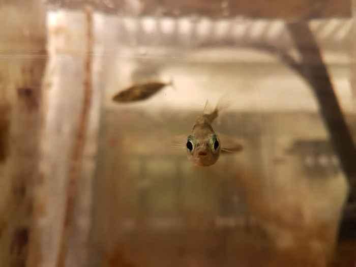 pez espinoso Mary