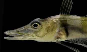 pez de hielo antártico (Chaenocephalus aceratus)