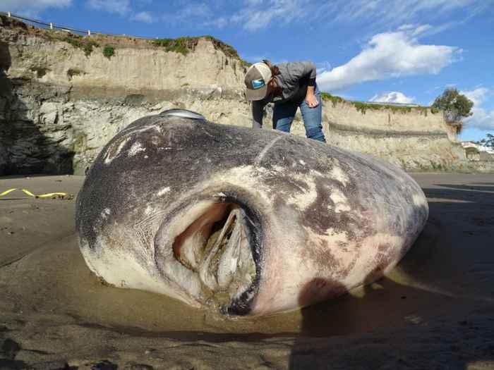 pez luna embaucador (Mola tecta) en playa de California