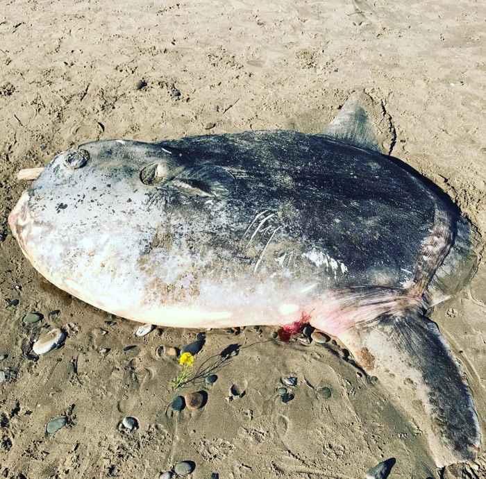 pez luna embaucador (Mola tecta)