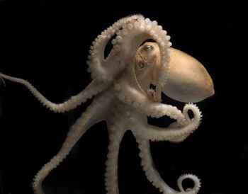 pulpo de California, Octopus bimaculoides