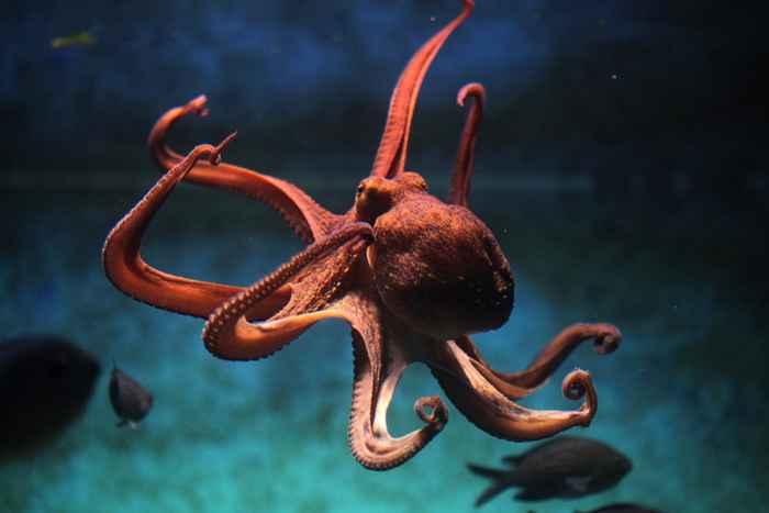 pulpo común, Octopus vulgaris