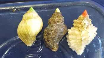 tipos de caracoles en el estudio