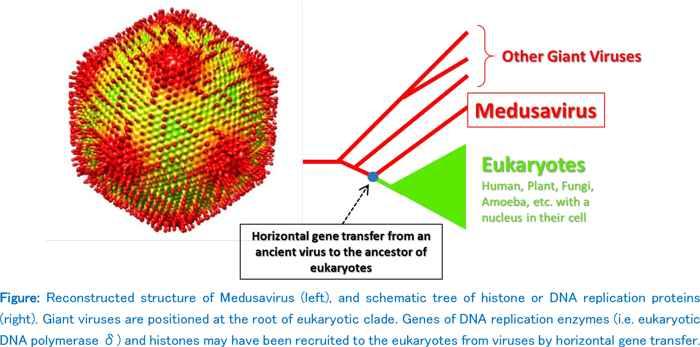 Medusavirus, detalle