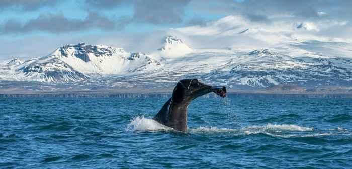 ballena en Islandia