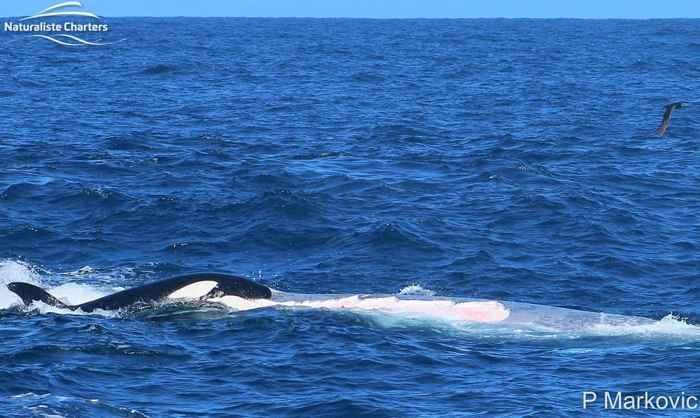 ballena azul atacada por manadas de orcas