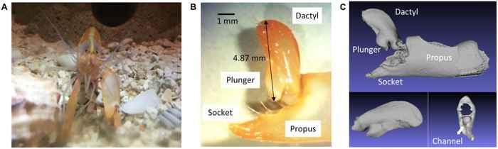 detalle de la garra de un camarón chasqueador