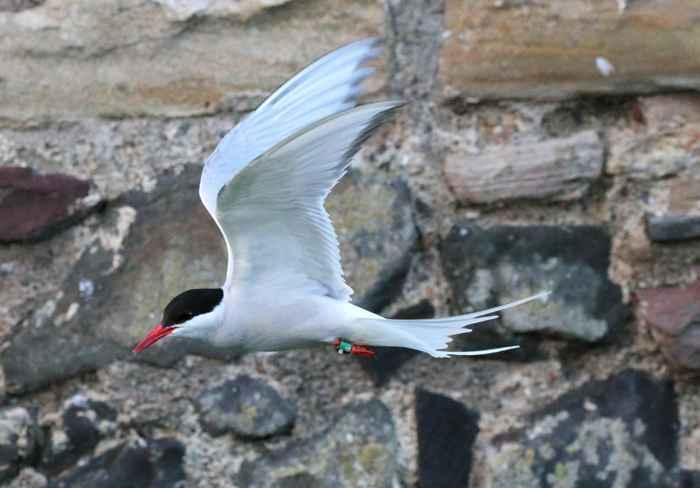 charrán ártico (Sterna paradisaea) volando